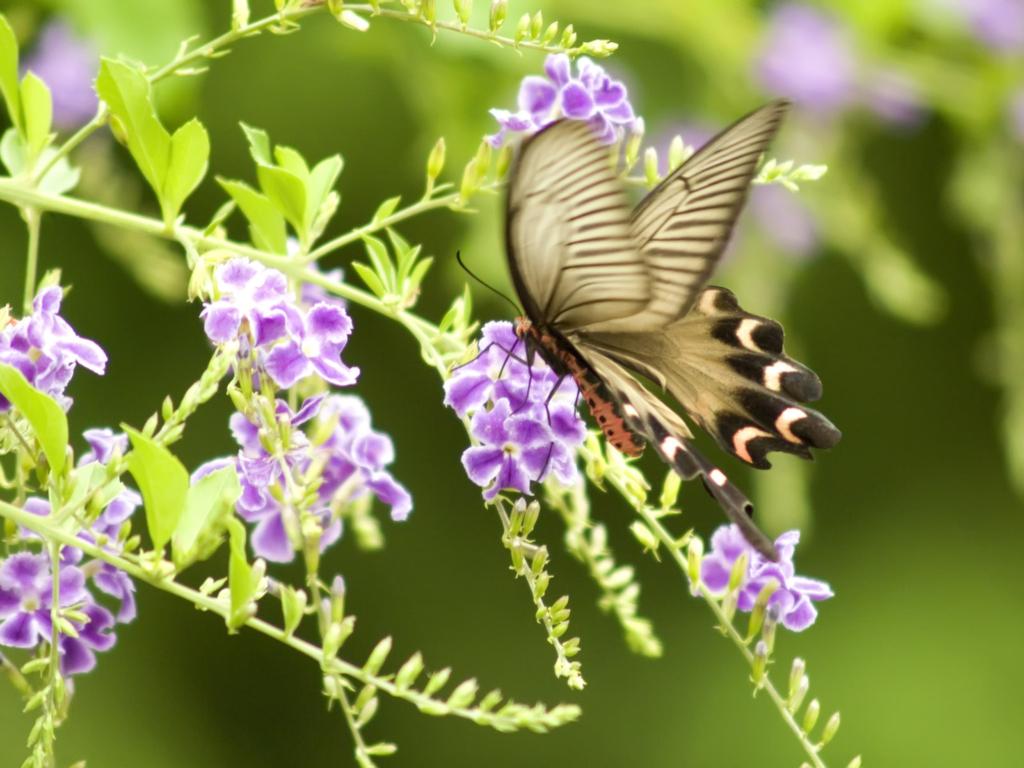 나비 사진, 나비 바탕화면