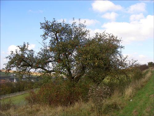 ▲ 두 세 그루 함께 있는 길가의 사과나무. 2008 ⓒ 김미수