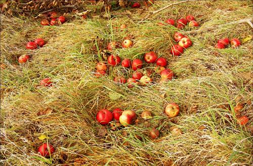 ▲ 수확하지 않아 바닥에 떨어져 썩어가고 있는 사과들. 2008 ⓒ 김미수