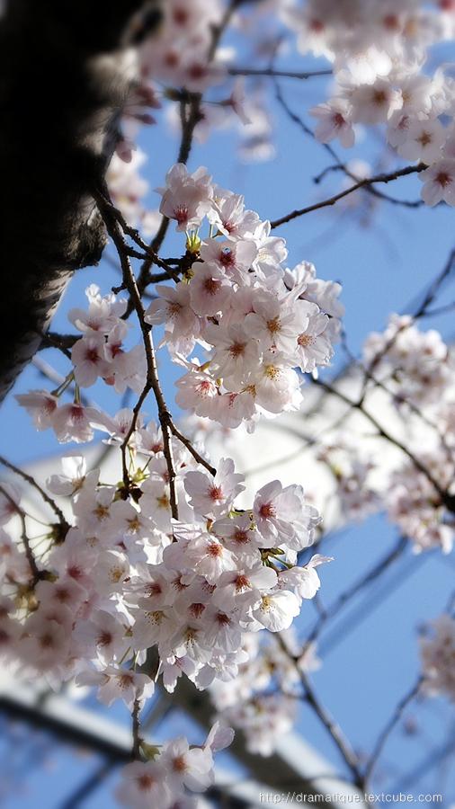 봄꽃-벗꽃