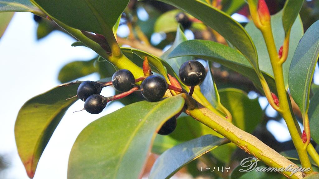 비수기, 비죽낭 ,Cleyera japonica,