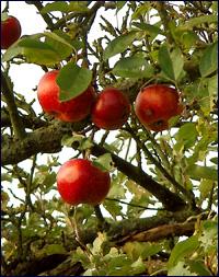 ▲ 나무 위에 탐스럽게 달린 사과들. 2008 ⓒ 김미수