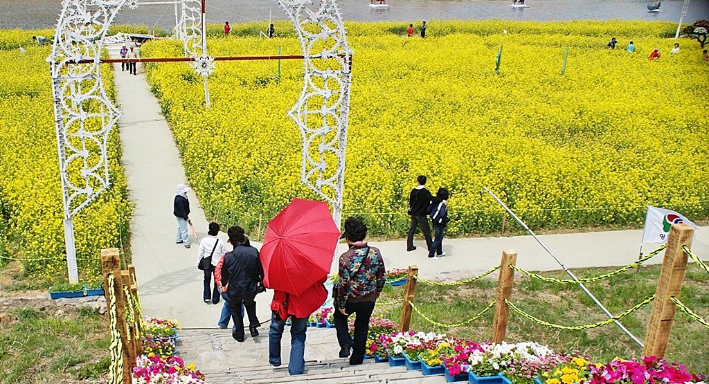 유채꽃축제