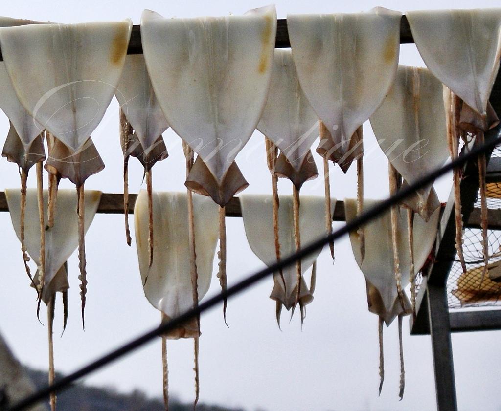생선사진-오징어