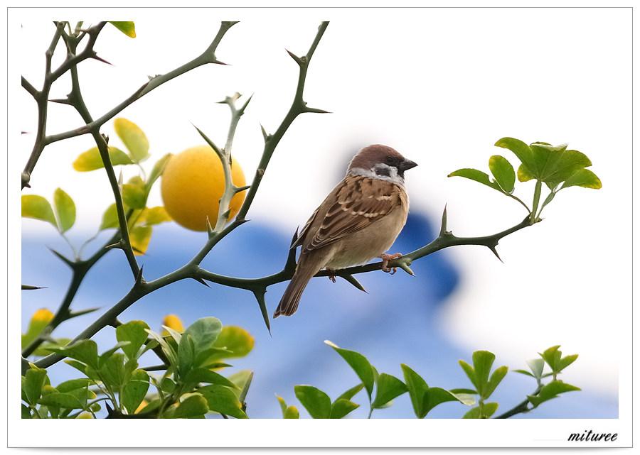 울산의 새들 - 참새