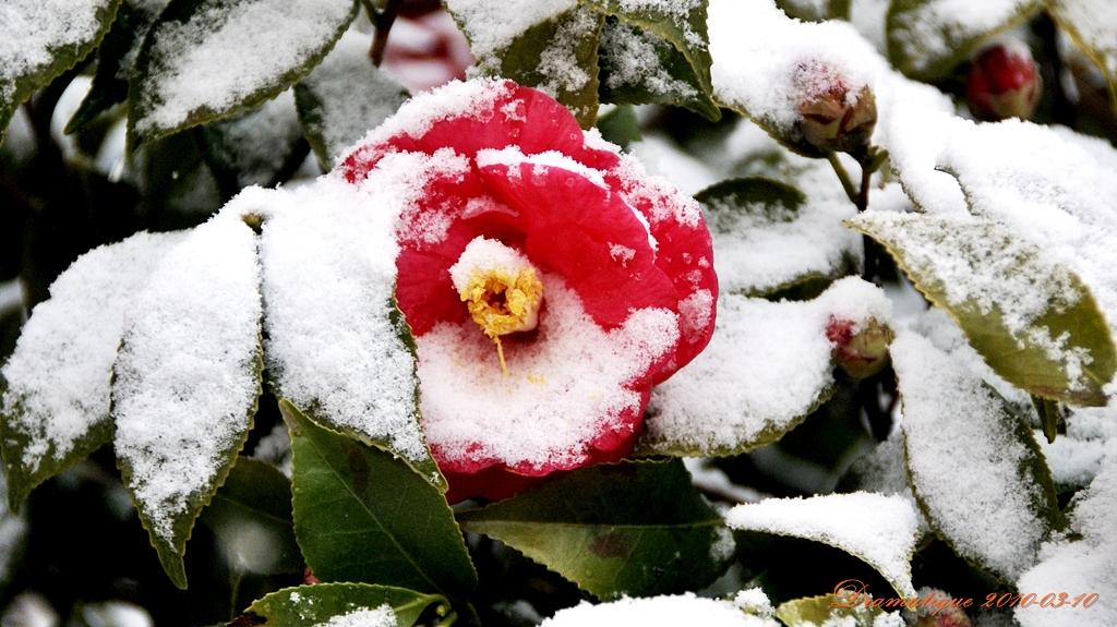 눈속에핀동백꽃