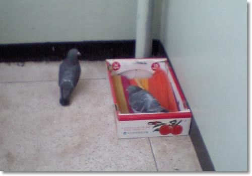 상자로 집을 옮긴 비둘기